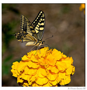 Papilio machaon (macho)