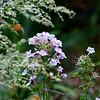 phlox and alstromeria lactiflora