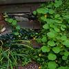 nasturtium, ivy, mint
