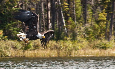 Can Geo Landscape 3- Bald Eagle with Trout at Lynn Lake