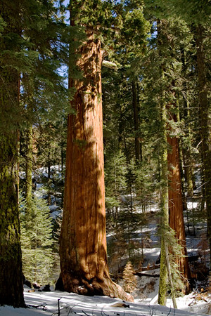 Sequoia_trees_1