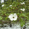 Dogwoods in the snow