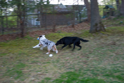 Nicki takes his toy and runs and the chase begins which takes them all over the yard.  Then Shadow gets it and Nicki chases.  They were pretty tuckered afterwards.