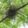 Nest in the tupelo