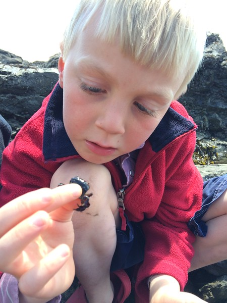 Reid and purple shore crab (?)
