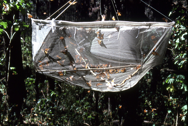 Butterfly trapping experiments in the high mountains of Mexico.