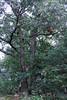 Sherbet in Tree 09-25-11- 006ps
