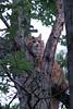 Sherbet in Tree 09-25-11- 009ps