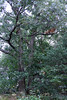 Sherbet in Tree 09-25-11- 005ps