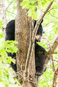 Amhest Bear