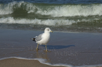 Seagull strutting at Sandy Hook