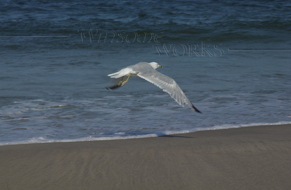 Ring-billed gull  at Sandy Hook