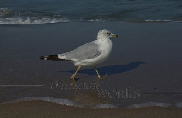 Ring-billed gull; Sandy Hook