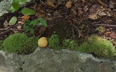 Puffball ( ? ) near Lehigh Furnace Gap