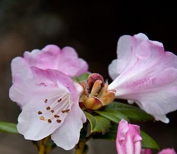 Rhodo's Pink Delight