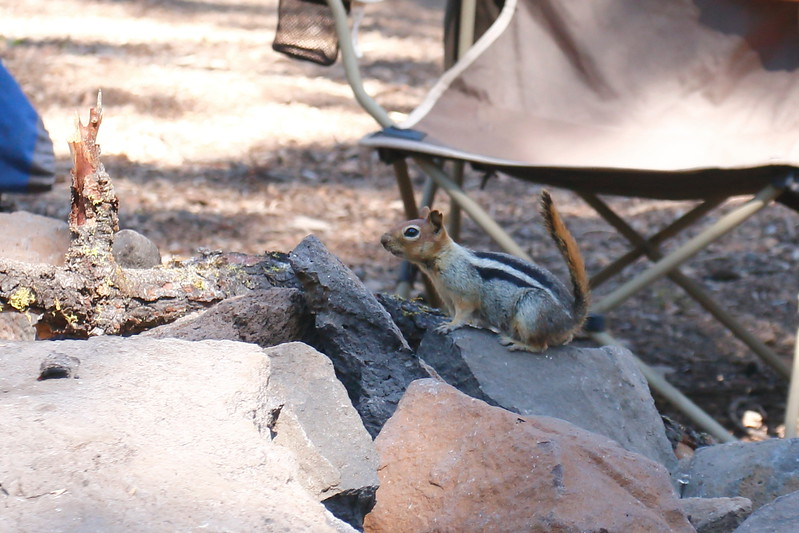 070_Silver Lake 2017 Golden-mantled Ground Squirrel