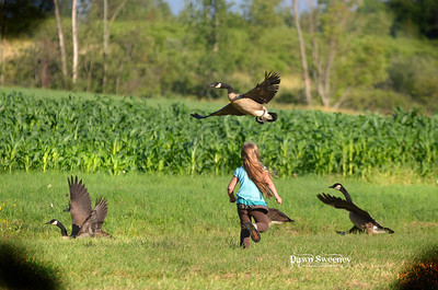 Sissy chasing geese