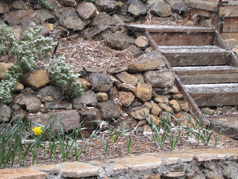 As snow begins to fall  about 11:30 on Saturday, May 28, one perky daffodil (planted by Barb O?) is about to get buried.