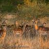 Impalas.  Senalala Game Lodge, South Africa