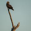 Long Crested Eagle.  Senalala Game Lodge, South Africa