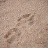 Lion spur in the sand.  Senalala Game Lodge, South Africa