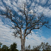 A beautiful Marula tree.  Senalala Game Lodge, South Africa