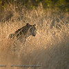 Beautiful light and a gorgeous animal...Africa anyone?  Senalala Game Lodge, South Africa