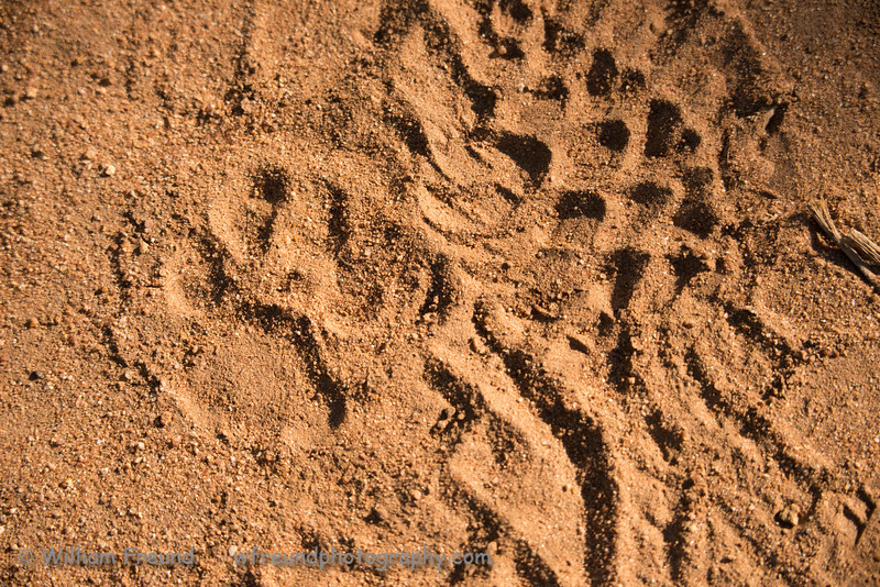 Leopard paw print (spur) next to my boot print.  Senalala Game Lodge, South Africa