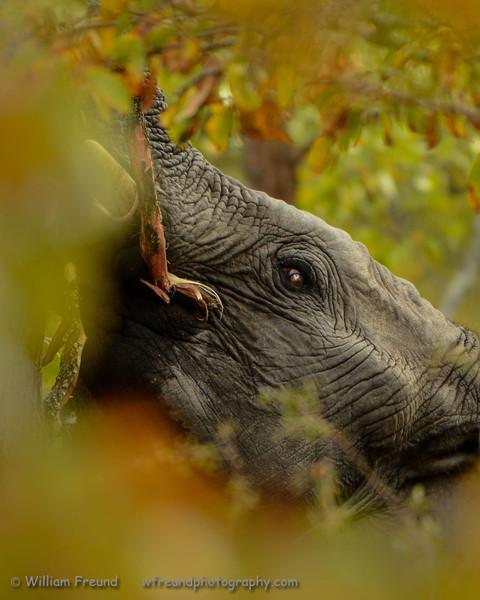 A young elephant munching away.  Senalala Game Lodge, South Africa
