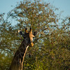 Giraffe in the morning light.  Senalala Game Lodge, South Africa