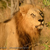 Big male lion.  Spectacular.  Senalala Game Lodge, South Africa