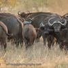 A herd of Cape Buffalo.  Senalala Game Lodge, South Africa