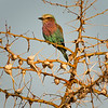 European Roller on a whistling thorn bush.  Senalala Game Lodge, South Africa