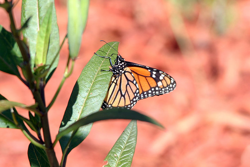 Monarch butterlfy on milkweed