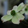 A dogwood bloom