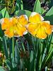 daffodils were first