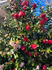 The camellias have had a rough spring  Blossoms several weeks ago were destroyed by snow. This is their second attempt -- more blossoms than ever before. Showing signs of cold burn  but all will be gone after 27 degrees tonight.