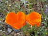 Gleaming California poppies