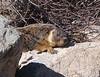 A marmot lying in wait.