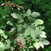 Dillenius' Tick-trefoil (Desmodium glabellum)