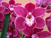 One of the prize winning varieties of orchids.
