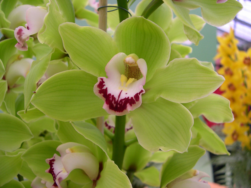 A green orchid.