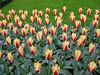 Last bed of tulips.
