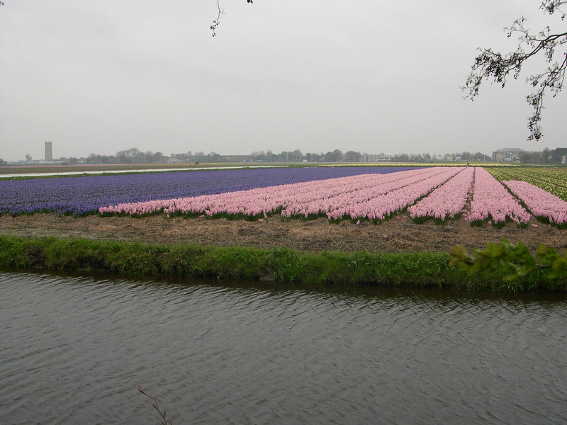 Looking out over the fields of tulips being grown for bulbs or export.