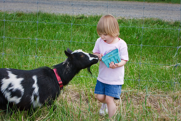 its all fun and games until a goat steals your berries.