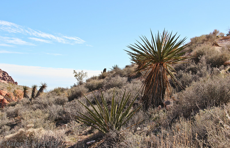 Calico Hills - scrub and Joshua Trees on the hillside