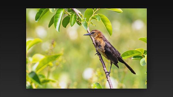 Wakodahatchee Wetland--Green Cay--Holder Visit