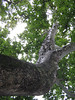 giant sycamore tree in Sunderland MA
