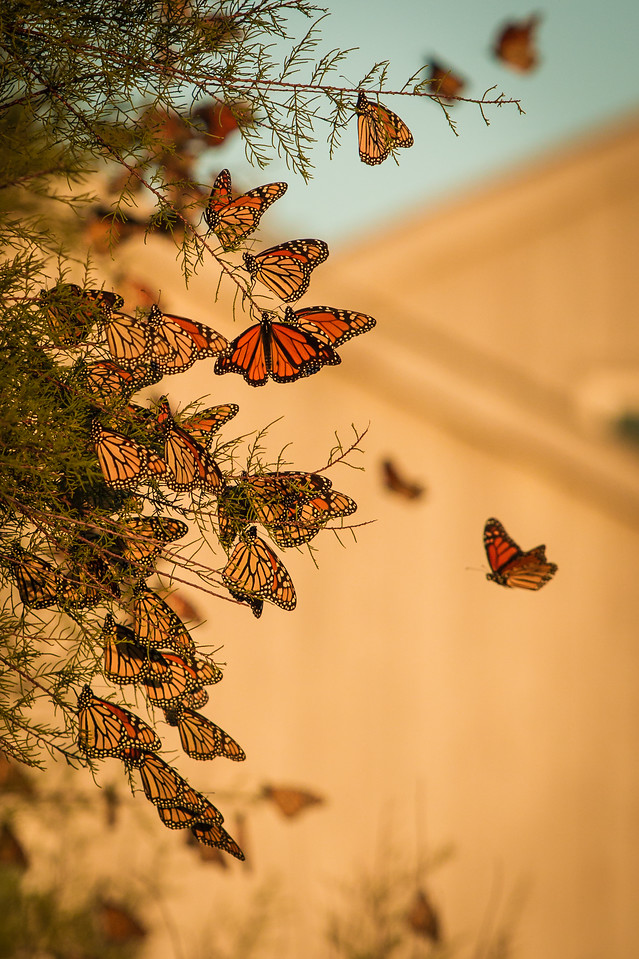 Monarch Butterflies sunbathing: never seem so many together