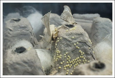 Silk worm moths and their eggs and cocoons